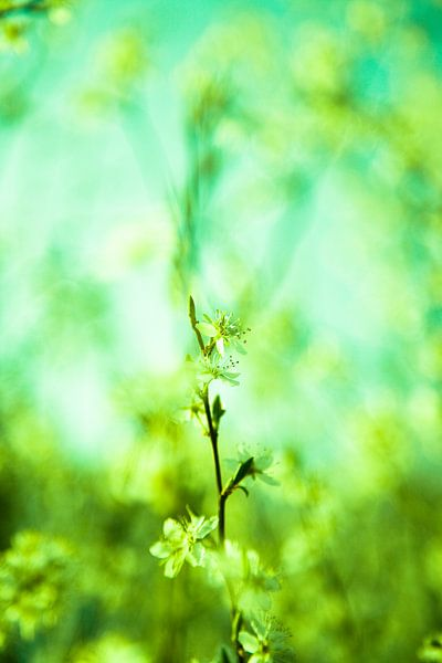 Lente bloesem van Oscar Limahelu