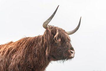 Schottische Hochlandrinder im Winter von Sjoerd van der Wal