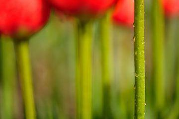 Tulp van Ruud de Soet