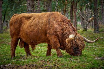 Grazende Schotse Hooglander stier in natuurgebied bij Wezep van Jenco van Zalk