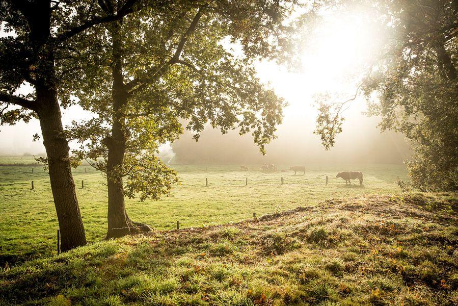 Koeien in schitterend ochtendlicht