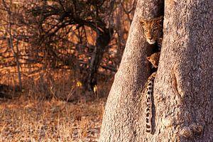 Beschermt in een boom door moeder luipaard