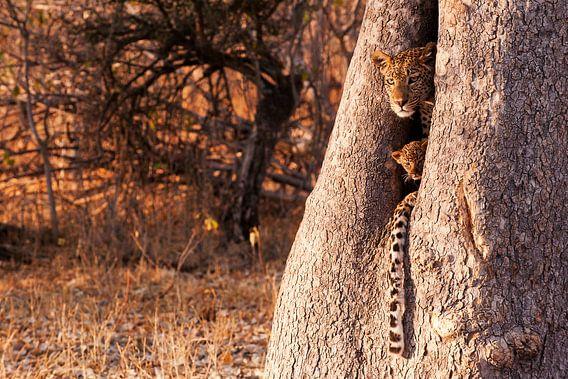 Beschermt in een boom door moeder luipaard  van Lotje Hondius