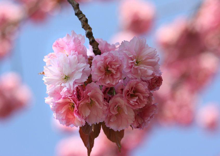 Kirschblüten van Rosi Lorz