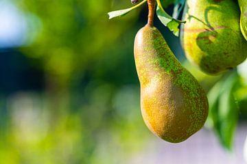 Focus op een peer op een perenboom van Matthias Korn