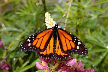 monarchvlinder op een bloem van W J Kok
