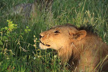 Romantischer afrikanischer Löwe duftet nach Blumen von Bobsphotography