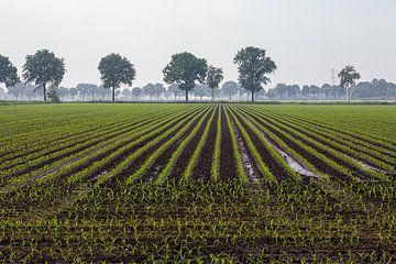 Jonge aanplant van mais van Jim van Iterson