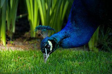 Pfau pickt im Gras von Hannon Queiroz