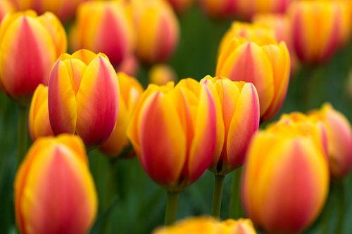 Tulpen in de Keukenhof van