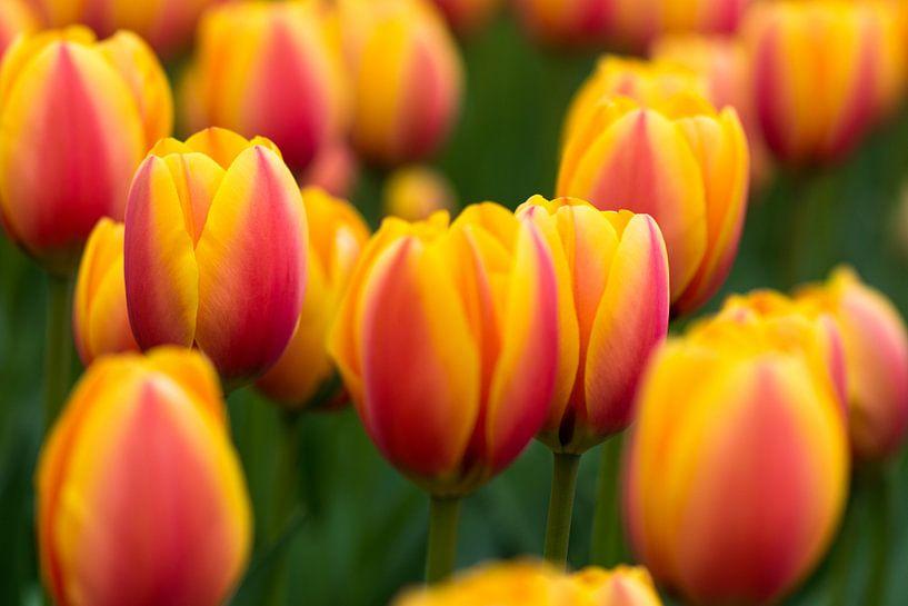 Tulpen in de Keukenhof van Ronne Vinkx