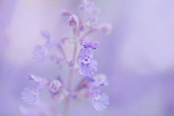 Katzenminze von Vliner Flowers