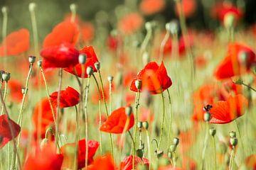 Poppy-Feld von Danny Tchi Photography