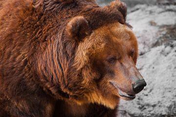 Riesiger, mächtiger Braunbär in Nahaufnahme, starkes Tier auf einem steinernen Hintergrund, russisch von Michael Semenov