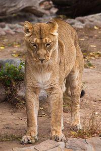Strekt, staat op zijn achterpoten als een kat zijn rug opheft Leeuwinnetje is een grote roofzuchtige