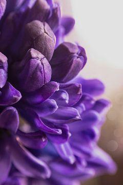 Hyacint purple von chantal vogelpoel