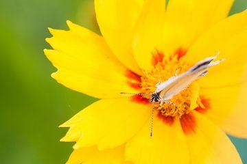 Vlinder op gele bloem von Mariska Geschiere