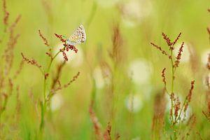 Icarusblauwtje tussen de bloemen