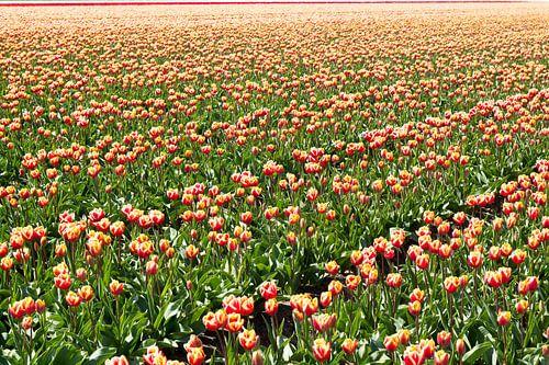 Tulpen van John Monster