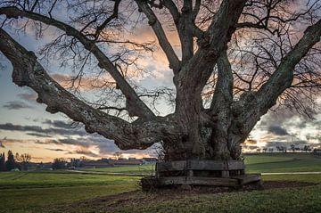 Abendstimmung am alten Lindenbaum von Jürgen Schmittdiel Photography