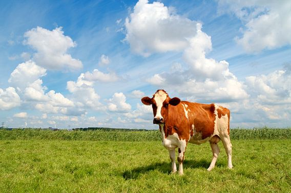 Nieuwsgierige jonge koe staande in een weiland. van Jan Brons
