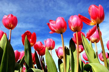 Typisch Hollandse tulpen van