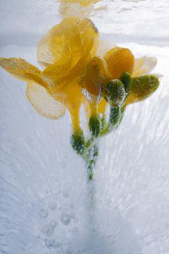 Gele fresia in ijs 1 van Marc Heiligenstein