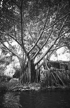 Baum mit ausländischen Wurzeln im Phong Nha-Ke Bang Nationalpark von Karel Ham