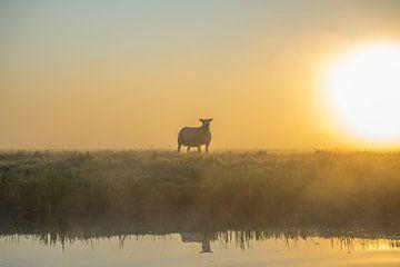 Schafe bei Sonnenaufgang auf der Weide von Rossum-Fotografie