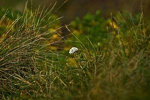 Duinen Bloemen