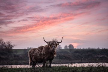 Schotse Hooglander met zonsondergang van Leon Brouwer