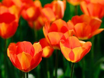 Hollandse tulpen von Thijs Schouten