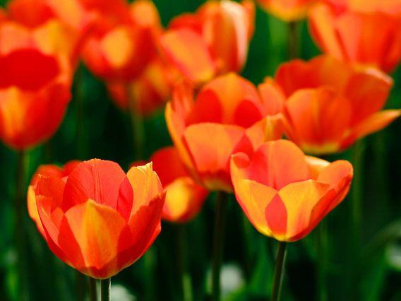 Hollandse tulpen van Thijs Schouten