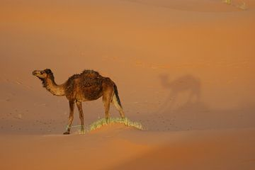 dromedaris in de woestijn met zijn schaduw van wil spijker