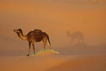Dromedar-Kamel von wil spijker