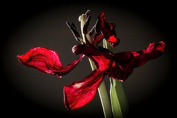 Red Tulip sur Adina Mosnegutu