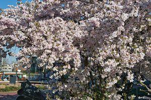 Blanc avec une touche de rose, les fleurs de sakura japonaises donnent une impression de printemps d