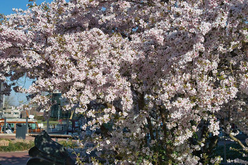 Blanc avec une touche de rose, les fleurs de sakura japonaises donnent une impression de printemps d sur JM de Jong-Jansen