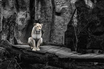 Leeuw von Yehia Mohamed Gamaleldin