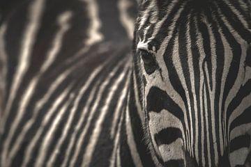 Zebra Porträt von Sander van Driel