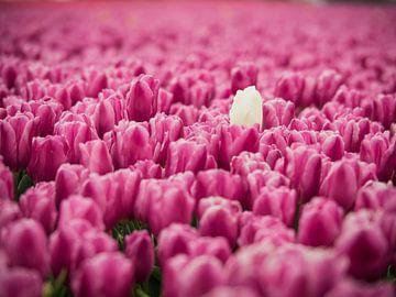 Champ de tulipes violettes sur