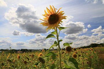 Zonnebloemen in Heuvelland von Jonathan Vandevoorde