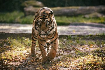 Ein Sumatra Tiger läuft auf einer Wiese von Edith Albuschat