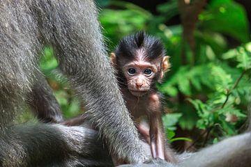 Jong aapje kijkt achter de arm van zijn moeder vandaan van Stephan Neven