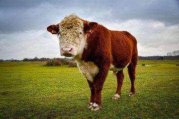 Hereford-Kuh in einem großen Naturschutzgebiet von bart hartman