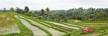 Panorama van de Rijstvelden (sawa's) in Bali van