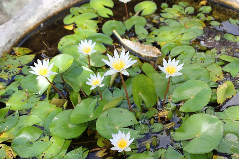 Indonesië: White Flowers von Raoul van de Weg
