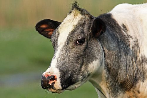 Bonte koe van
