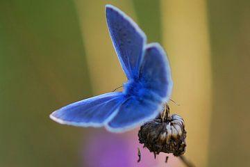 Beek blauwtje (vlinder) sur Gabsor Fotografie