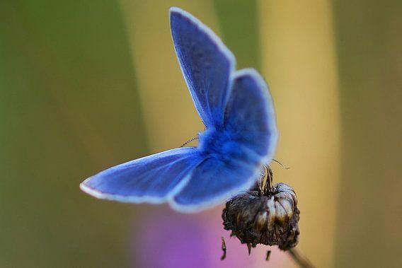 Beek blauwtje (vlinder) van Gabsor Fotografie